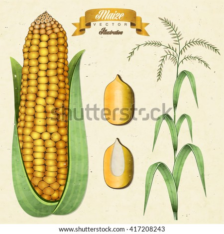 Retro vintage maize illustration. Vector corn. Realistic, hand drawn, isolated maize illustration. - stock vector