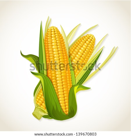 Ripe corn on the cob - stock vector