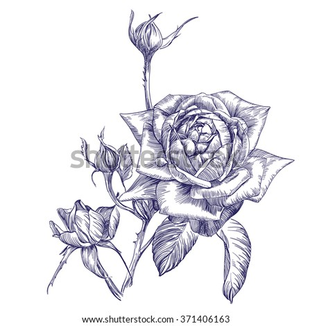 rose branch hand drawn vector llustration realistic sketch - stock vector