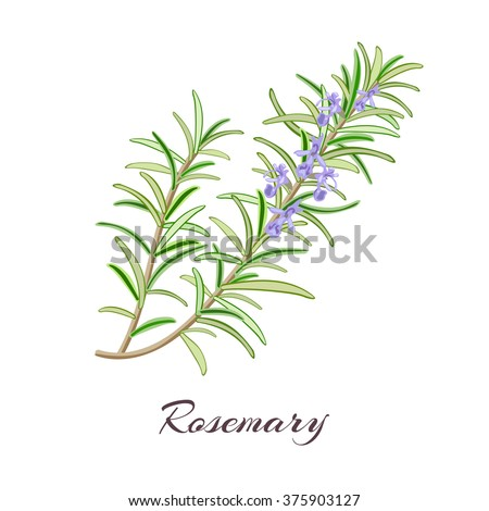 Rosemary (Rosmarinus officinalis). Leaves and flowers. Vector illustration. - stock vector