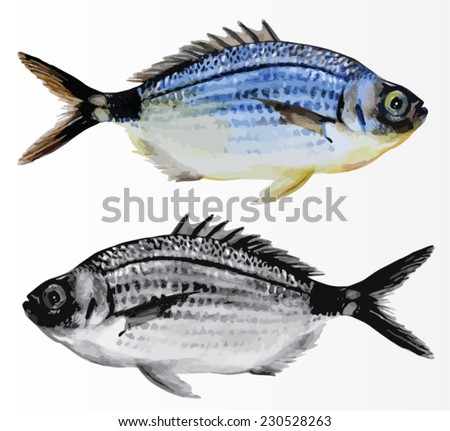 Saddled seabream or Oblade, saltwater fish isolated. Handmade watercolor painting turned into vector illustration. - stock vector