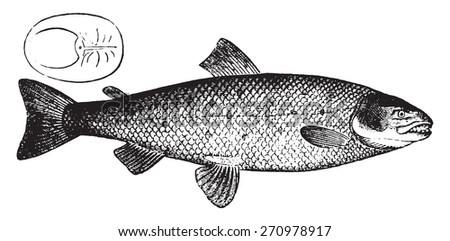 Salmon, vintage engraved illustration. Natural History of Animals, 1880. - stock vector