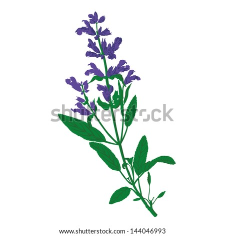 Salvia, Sage Vector - stock vector