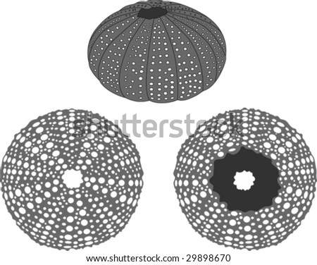 Sea urchin vector - stock vector