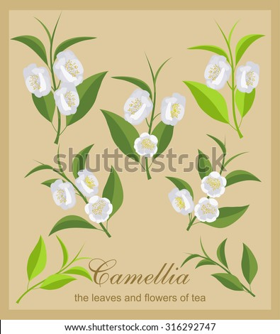 Set camellia flowers. Isolated flowers and tea leaves. - stock vector