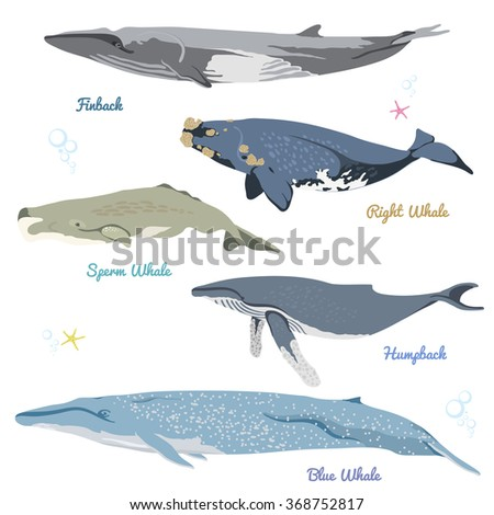 Set of 5 detailed whales from the world / realistic icons / vector illustration include finback, right whale, sperm whale, humpback, blue whale - stock vector