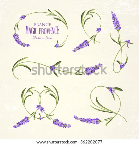 Set of lavender flowers elements. Botanical illustration. Collection of lavender flowers on a white background. Lavender hand drawn. Lavender flowers isolated on white background. - stock vector