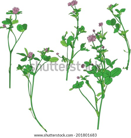 Set of line drawing clovers, wild flowers, hand drawn vector illustration - stock vector