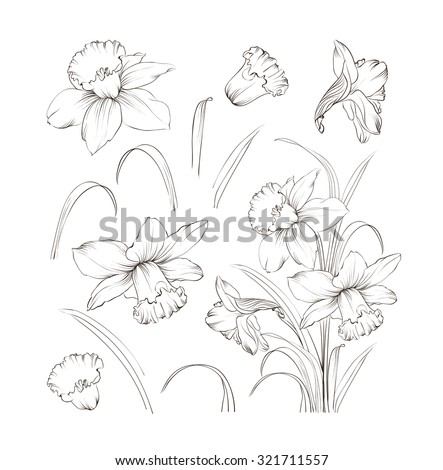 Set of line drawing narcissus. Daffodils blossom bundle. Black flowers isolated over white. Flowers contour collection. Vector illustration. - stock vector