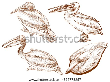 Set of pelican - hand drawn vector illustration, isolated on white - stock vector