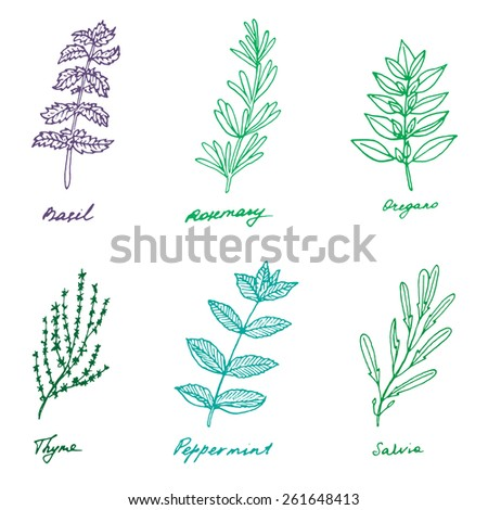 Set of some provence herbs: basil, rosemary, oregano, thyme, peppermint, salvia - stock vector