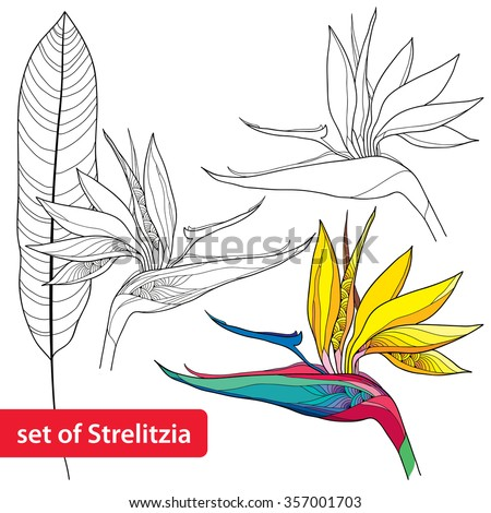 Set of Strelitzia reginae or bird of paradise flower and leaf isolated on white background - stock vector
