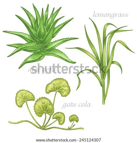 Set of vector images of medicinal plants. Beauty and health. Aloe vera, gotu cola, lemongrass.  - stock vector