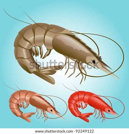 Shrimp Illustration - stock vector