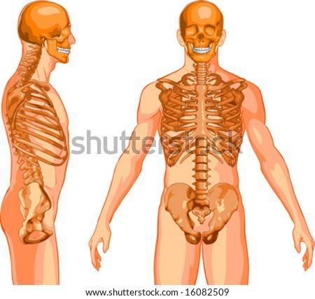 Skeleton - stock vector