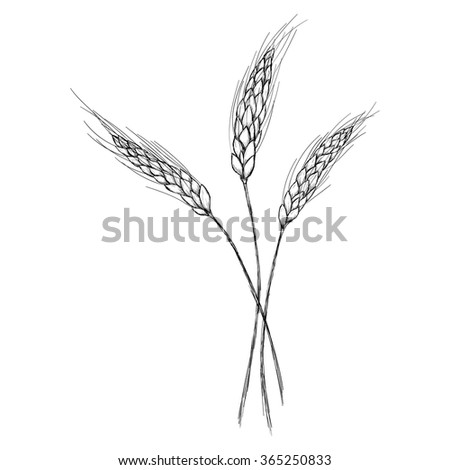 Sketch ear of wheat by hand on an isolated background - stock vector