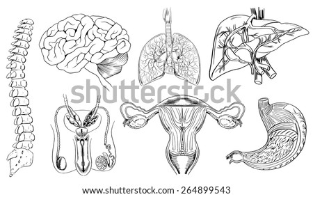 Sketch of internal body organs in black and white - stock vector