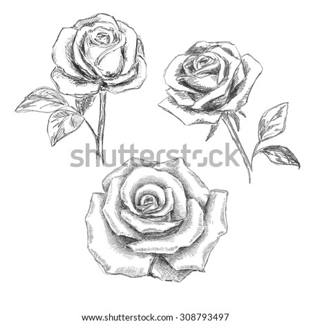 sketch of  roses - stock vector