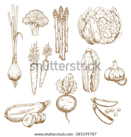 Sketches of farm carrots, garlic cloves, onion, pea, broccoli, zucchini and cauliflower, asparagus and chinese cabbage vegetables. Restaurant menu, recipe book, vegetarian food or agriculture themes - stock vector
