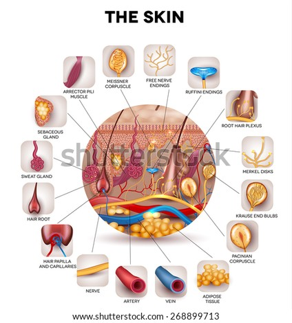 Skin anatomy in the round shape, detailed illustration. Beautiful bright colors. - stock vector