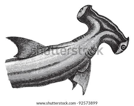 Smooth hammerhead (Sphyrna zygaena) / vintage illustration from Meyers Konversations-Lexikon 1897 - stock vector