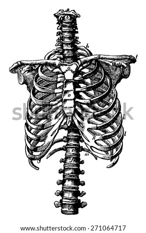 Spine and rib cage rights, vintage engraved illustration. La Vie dans la nature, 1890. - stock vector