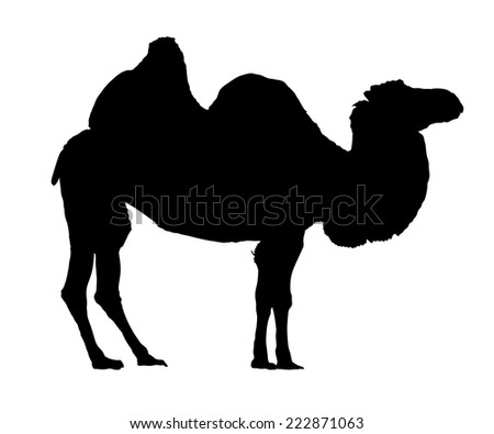 Standing bactrian camel vector (Camelus bactrianus). Isolated on white black silhouette - stock vector