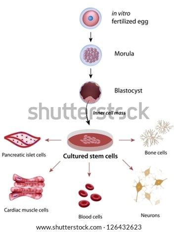 Stem cells cultivation and differentiation - stock vector