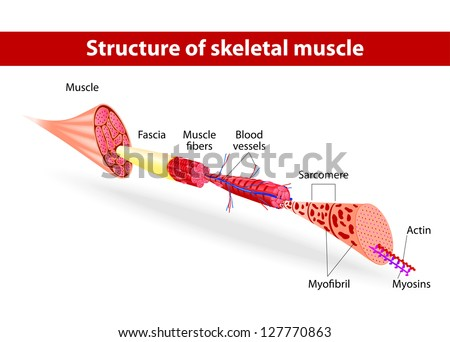 Structure of skeletal muscle. Vector illustration - stock vector