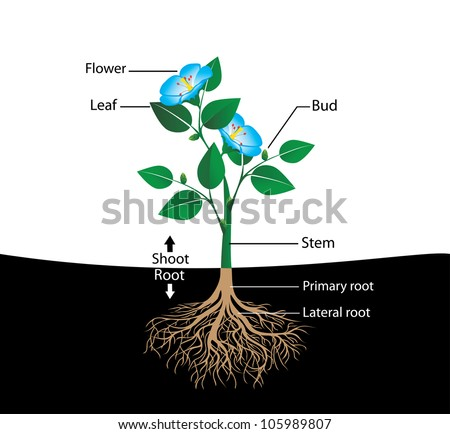 structure of the flower, vector diagram for teaching pupils and students - stock vector