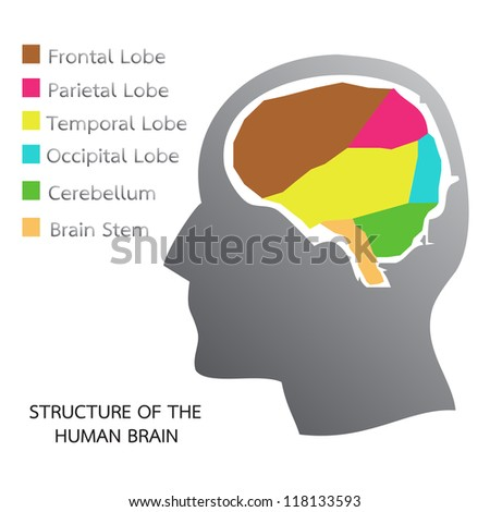 Structure of the Human Brain - stock vector