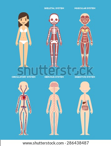 Stylized female body anatomy chart: skeletal, muscular, circulatory, nervous and digestive systems. Flat cartoon style. - stock vector