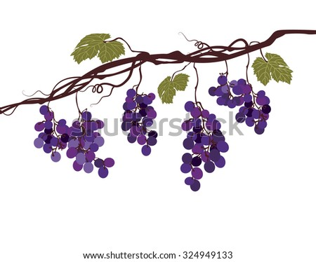 Stylized graphic image of a vine with grapes - stock vector