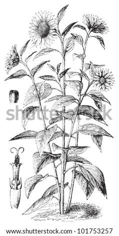 Sunflower (Helianthus annuus) / vintage illustration from Brockhaus Konversations-Lexikon 1908 - stock vector