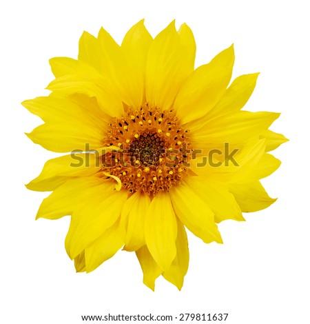 sunflower isolated on white background, vector - stock vector