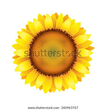 Sunflower isolated on white photo-realistic vector illustration - stock vector
