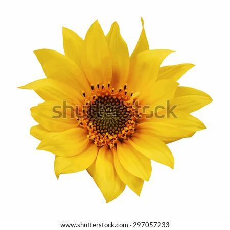 sunflower on white background, vector - stock vector