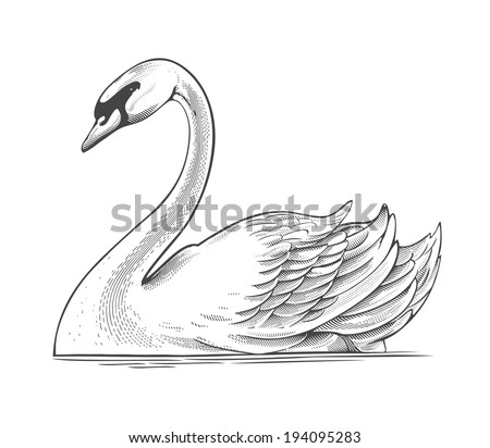 Swan in engraving style.  Vector illustration, isolated, grouped, transparent background - stock vector