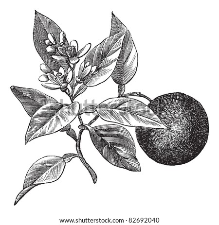 Sweet orange or Citrus aurantium, isolated on white, vintage engraved illustration. Trousset encyclopedia (1886 - 1891). - stock vector
