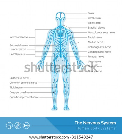The human nervous system vector medical illustration - stock vector