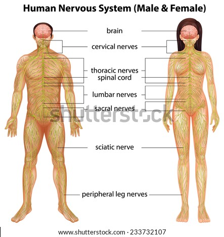 The male and female nervous systems on a white background - stock vector