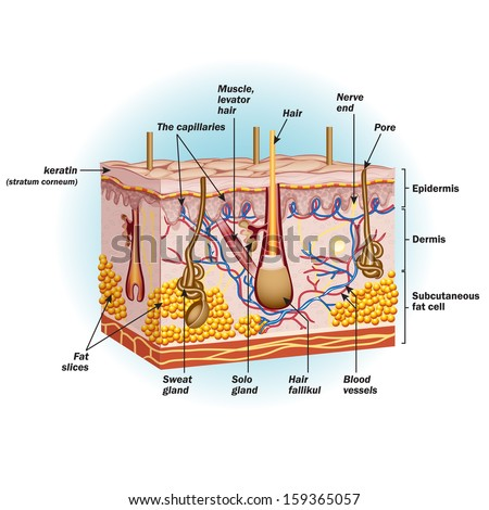 The structure of human skin cells - stock vector