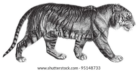 Tiger (Panthera tigris) / vintage illustration from Meyers Konversations-Lexikon 1897 - stock vector