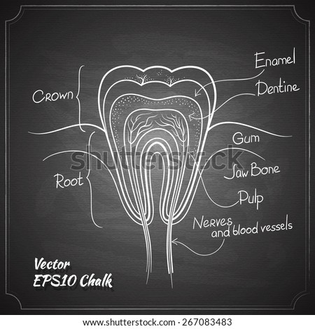 tooth anatomy chalk painted on the chalkboard vector illustration - stock vector