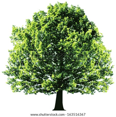 Tree with green leaves isolated on white background  - stock vector