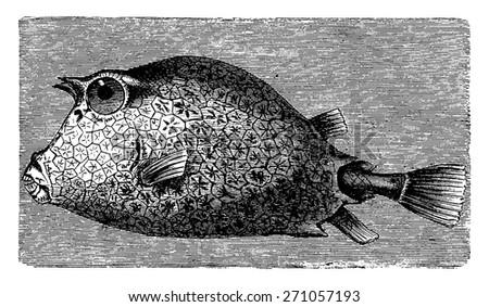 Trunkfish, vintage engraved illustration. La Vie dans la nature, 1890. - stock vector