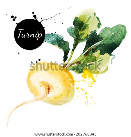 Turnip. Hand drawn watercolor painting on white background. Vector illustration - stock vector