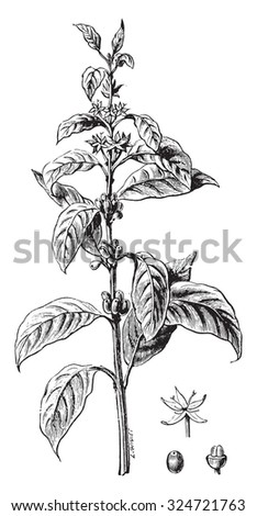 Twig flower coffee and fruit, vintage engraved illustration. Industrial encyclopedia E.-O. Lami - 1875. - stock vector