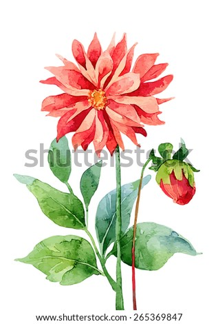 Two red dahlia isolated on white background. Vector illustration - stock vector