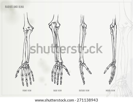 Ulna, radius and hand bones - stock vector